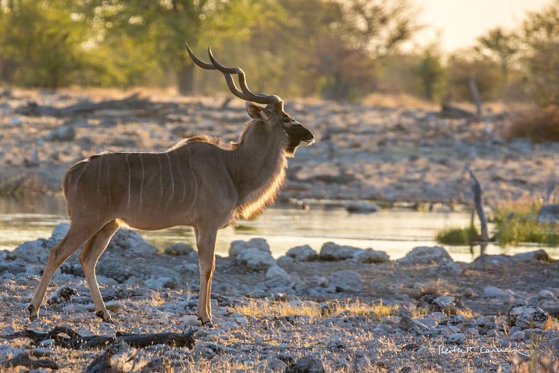 Kudu buck at a waterhole