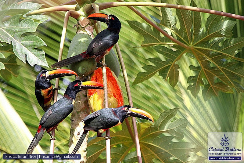 Nature-Bird-Fiery-billed Aracari-0800px_0600px-wm.jpg