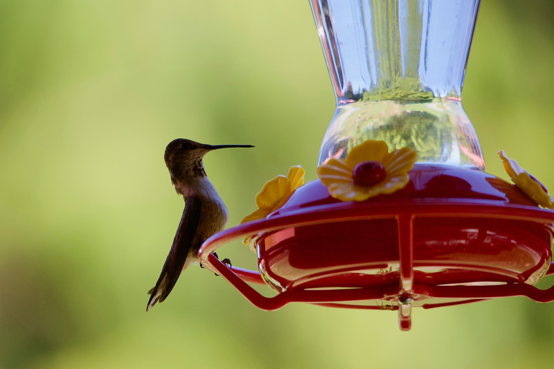humming bird (14 of 55).jpg