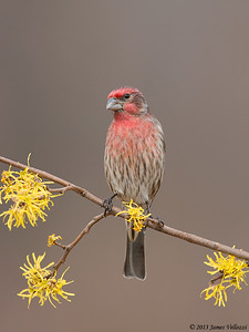 House Finch, Haemorhous mexicanus