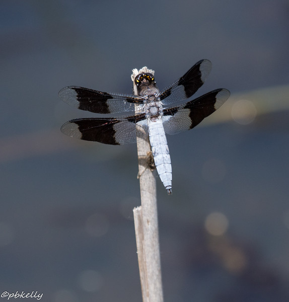 6-07-16.  Common Whitetail.