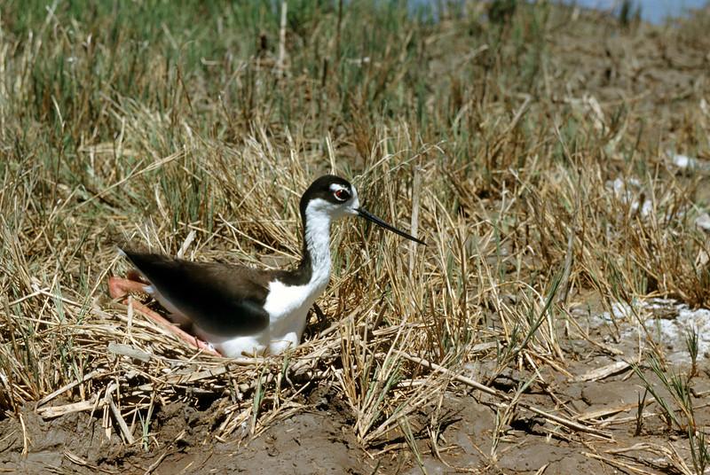 Black-necked Stilt (Himantopus mexicanus), 1953