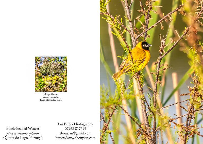 Black-headed Weaver ploceus melanocephalus  5  x 7_.jpg