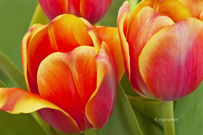 April  26_Tulips_7929.jpg