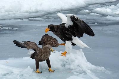 Japan Winter Wildlife - Hokkaido