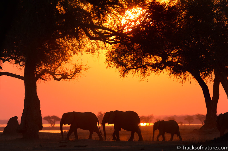 Elephant family on the Zambezi flood plain, Mana Pools National Park