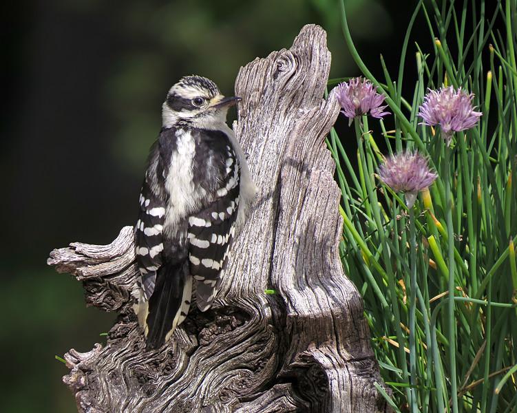 sx50_downy_woodpecker_boas_027.jpg