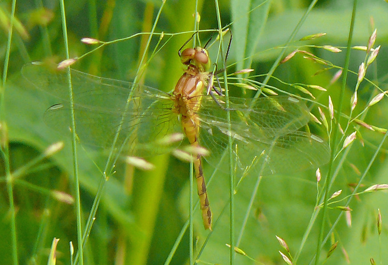 Teneral Dragonfly
