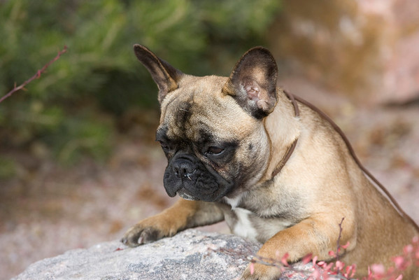French Bulldog  CP
