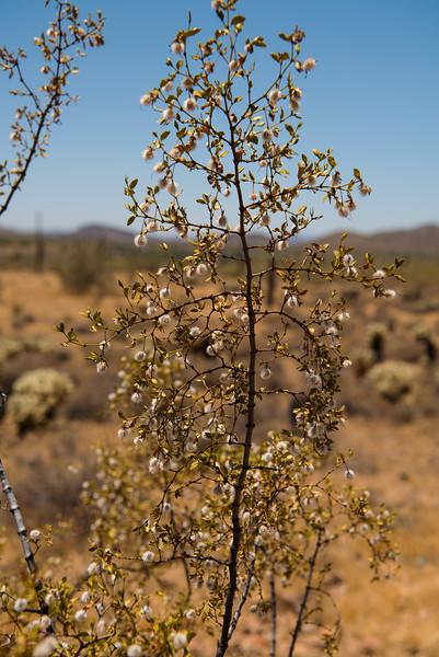 Creosote bush in the Sonoran Desert