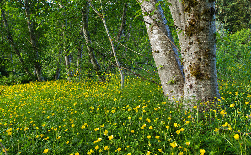 Buttercups and Alders  near Fish Pond.