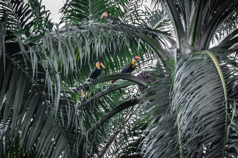 BIRDS - wrinkled hornbill-0429.jpg