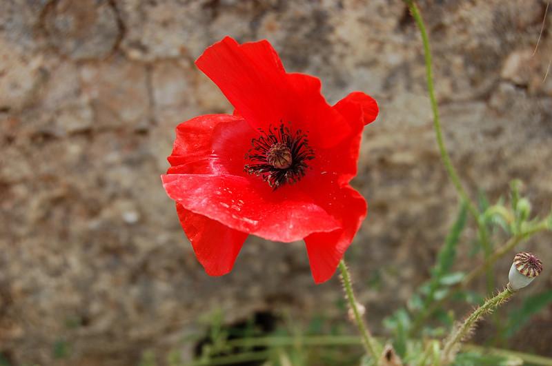Puglia_Poppy.jpg