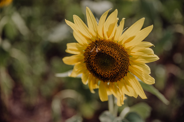 Walters Sunflowers