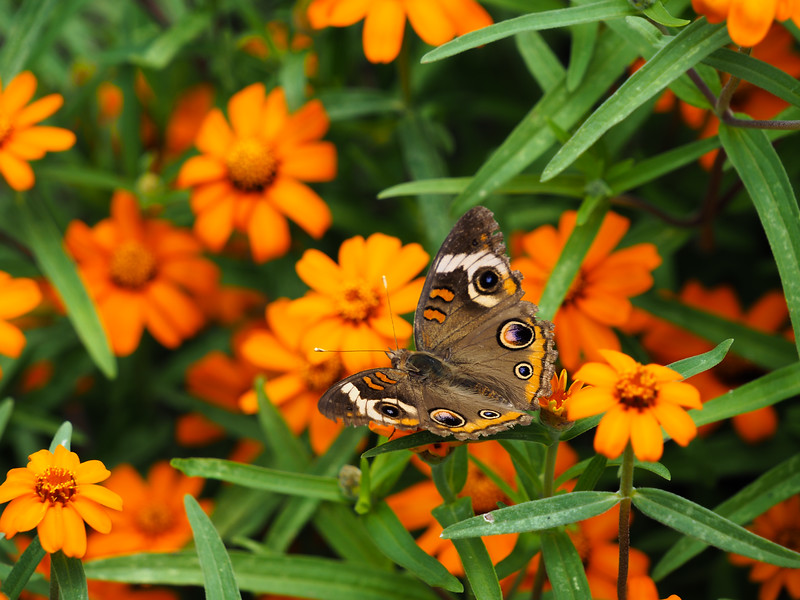 95 Aug 4 Dan Stowe Botanical butterfly-1.jpg