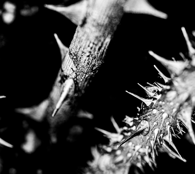 Thorns in black and white 4.jpg