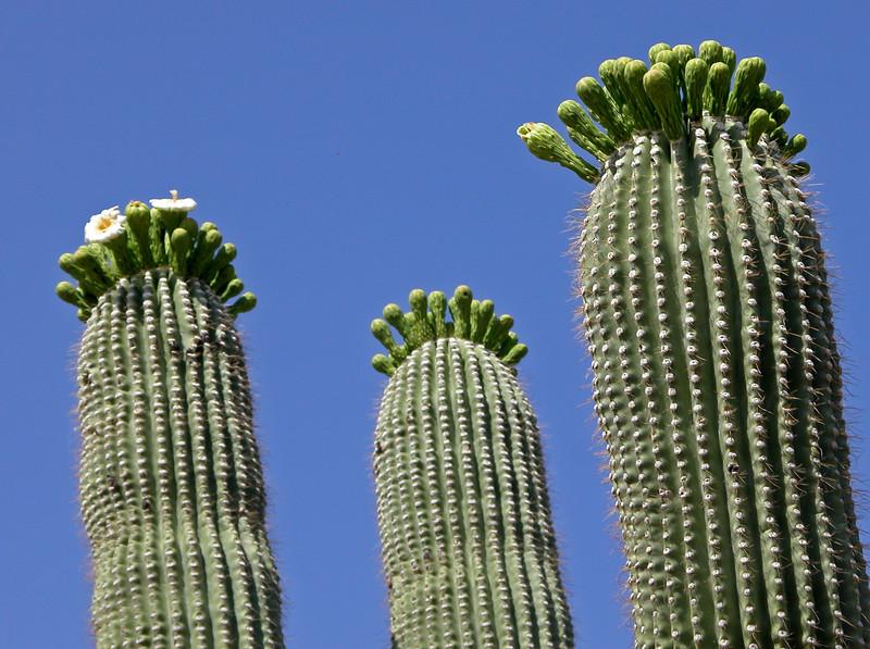 Saguaro blooms.jpg