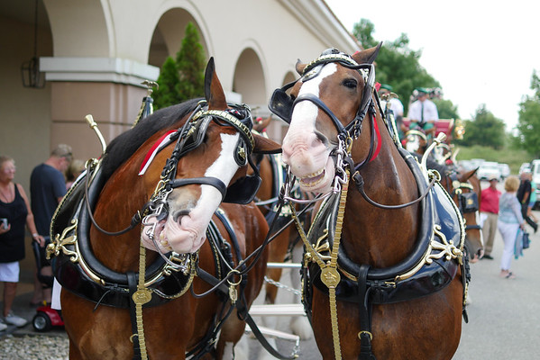 Budweiser Clydesdales at Belterra Casino