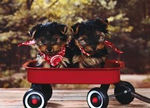 Yorkshire Terrier Photo & Video Gallery