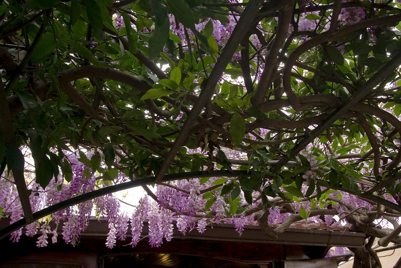 Wisteria at Lunch Stop.jpg