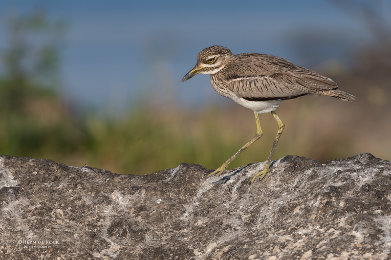 Water Thick-knee, Chobe River, NAM, Oct 2016-4.jpg