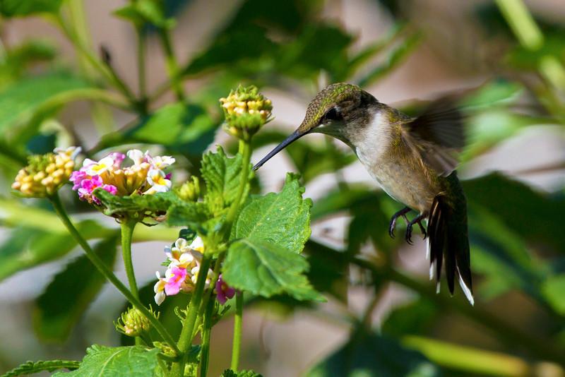hummingbirdandlantana20.jpg