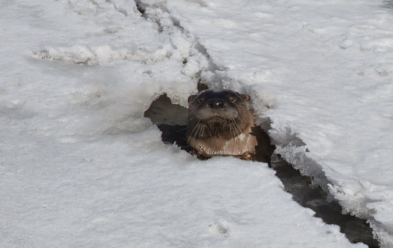 Even a small crack in a solidly frozen river is enough for the River Otter. This otter was feasting on minnows caught below the ice [March 27; St. Louis River, Fond du Lac, Duluth, Minnesota, St. Louis County on border with Douglas County, Wisconsin]