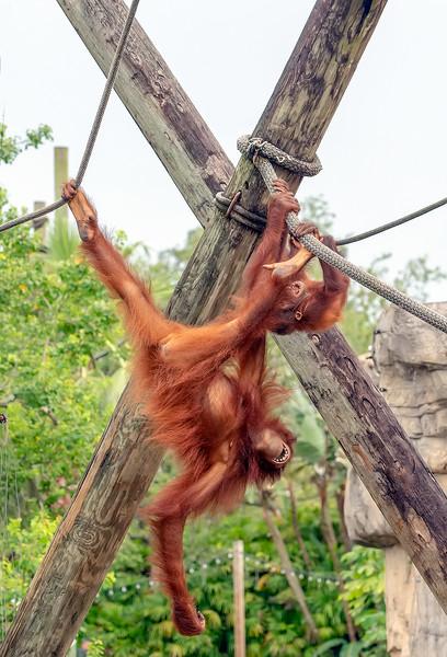 Orangutan_DSC7674-copy.jpg