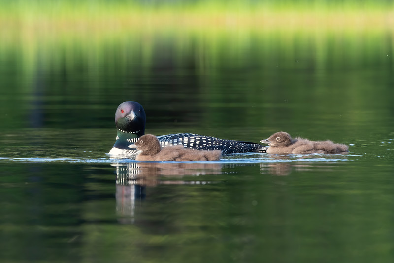 #1259 Common Loon and Chicks