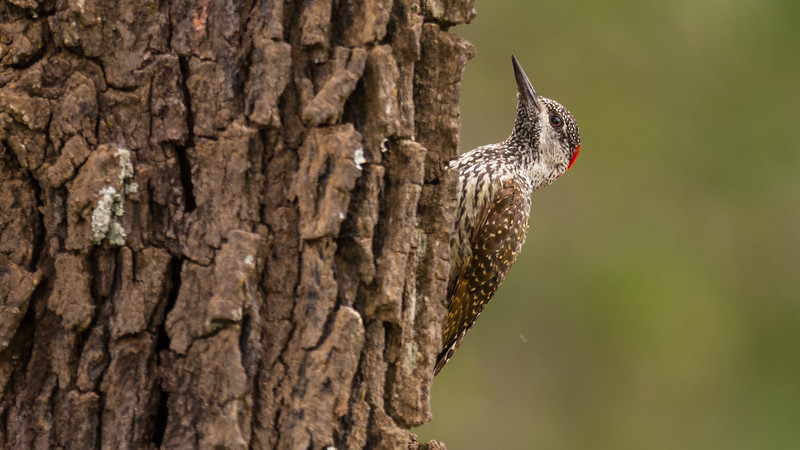 Golden-tailed woodpecker, Mabula Game Reserve, Limpopo, Sydafrika