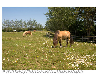 2011 SeaPony Farm Daisy Days