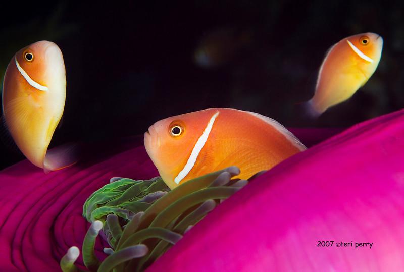 anemone with clown fish B.jpg