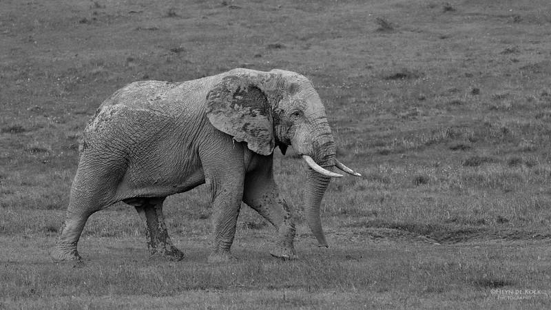African Elephant 2, Addo Elephant National Park, EC, SA, Dec 2013-bw.jpg
