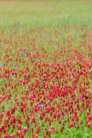 Wild clover and other wildflowers near Weilerbach, Germany. © 2005 Kenneth R. Sheide