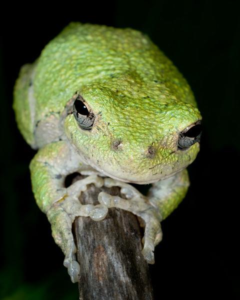 Gray Tree Frog - 9483