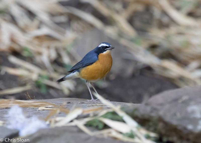 Indian Blue Robin at Jungle Hut, Masanagudi, Mudumulai, India (02-25-2015) 057-239.jpg
