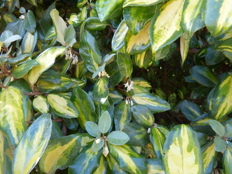 Eleagnus pungens maculata, September scent, Goddards Green P1230668.JPG