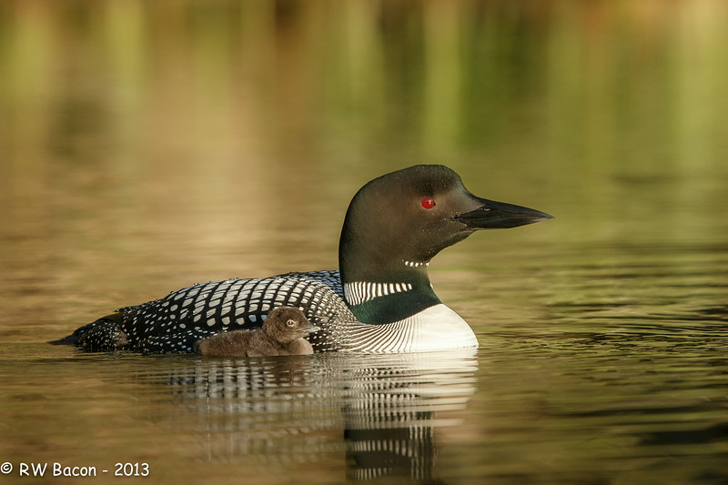 Loon with Chick.jpg