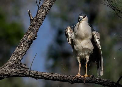 Black-crowned Night Heron Dance