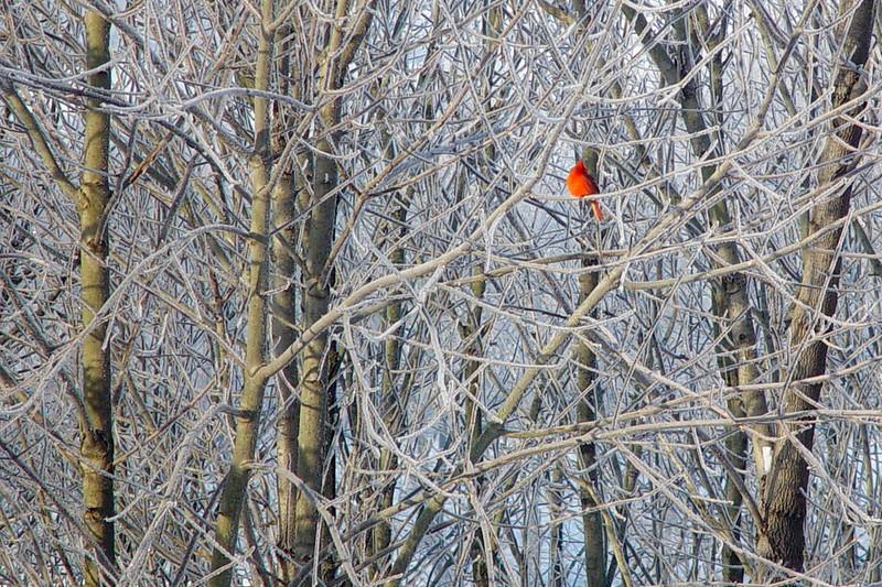 cardinal 12x18.jpg