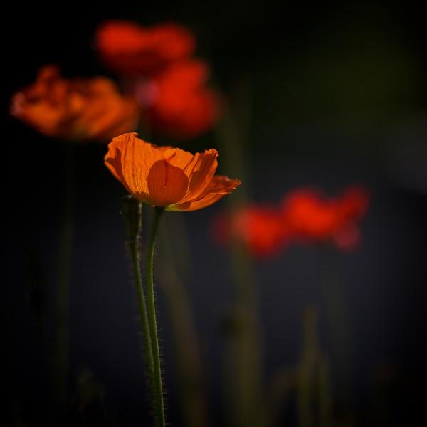 Translucent Poppy