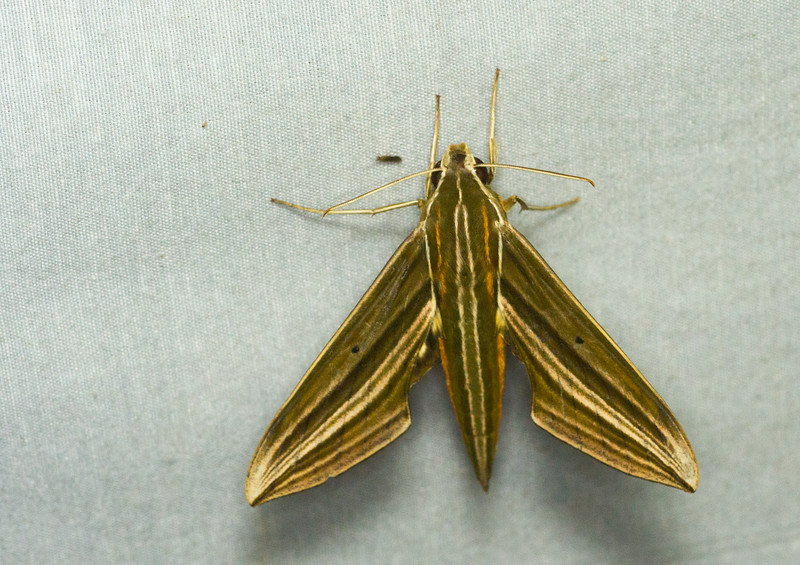 Sphinx moth, Xylophanes titiana, from Panama.