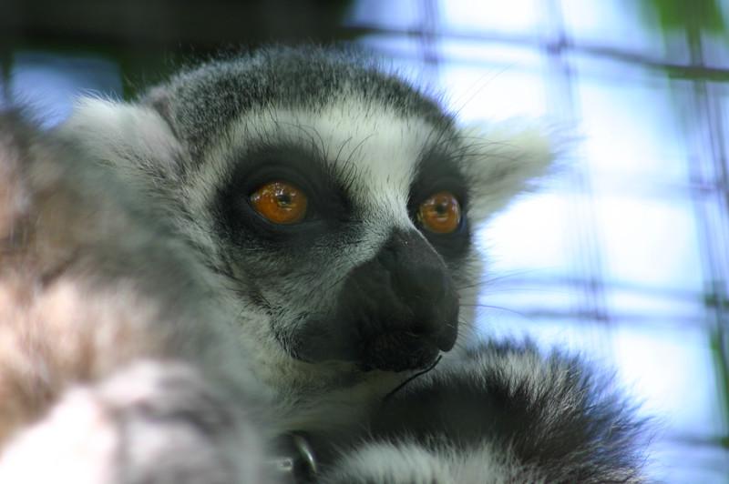 Lemur, Wellplace Zoo, Oxfordshire