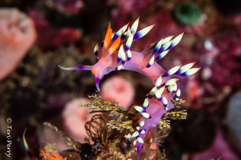 NUDIBRANCH - -9410.jpg