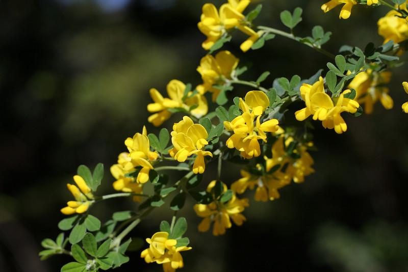 3606 Yellow Blossoms.jpg