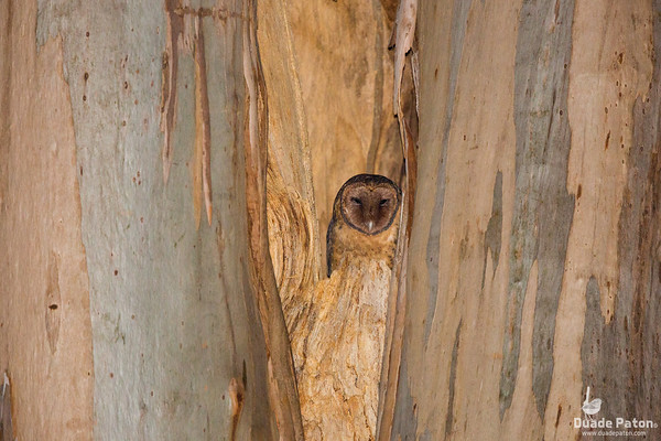 Masked Owls