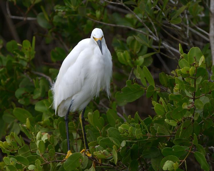 Snowy Egret Biolab Road Merritt Island NWR, Florida December 2012