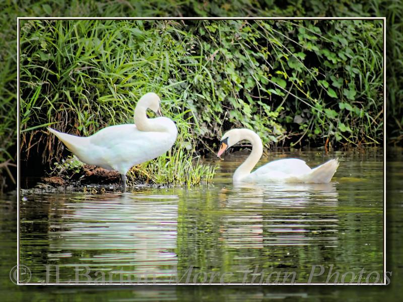 Partnership Swans on the Severn
