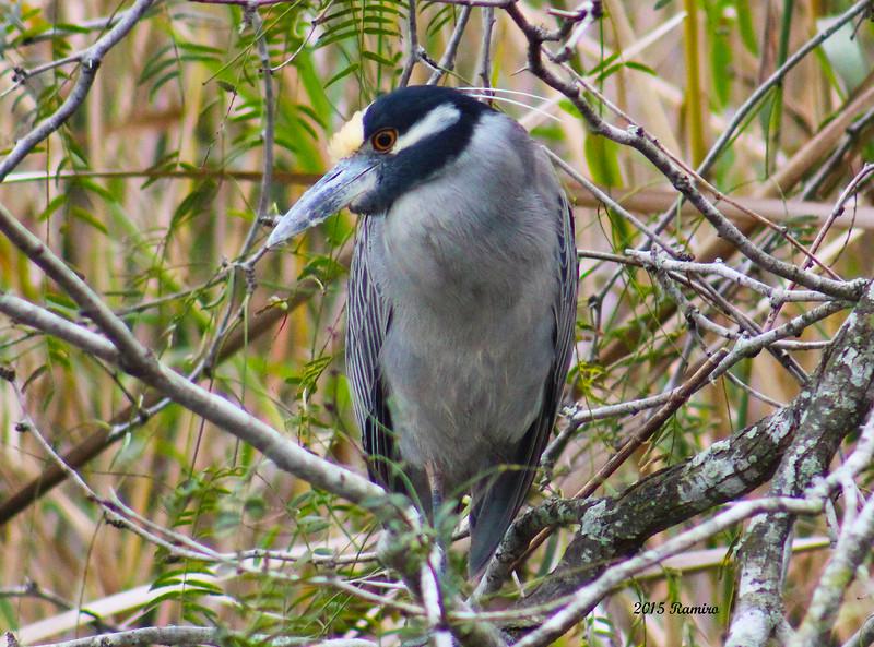 Estero Grande Heron 1-17-2015 578.jpg