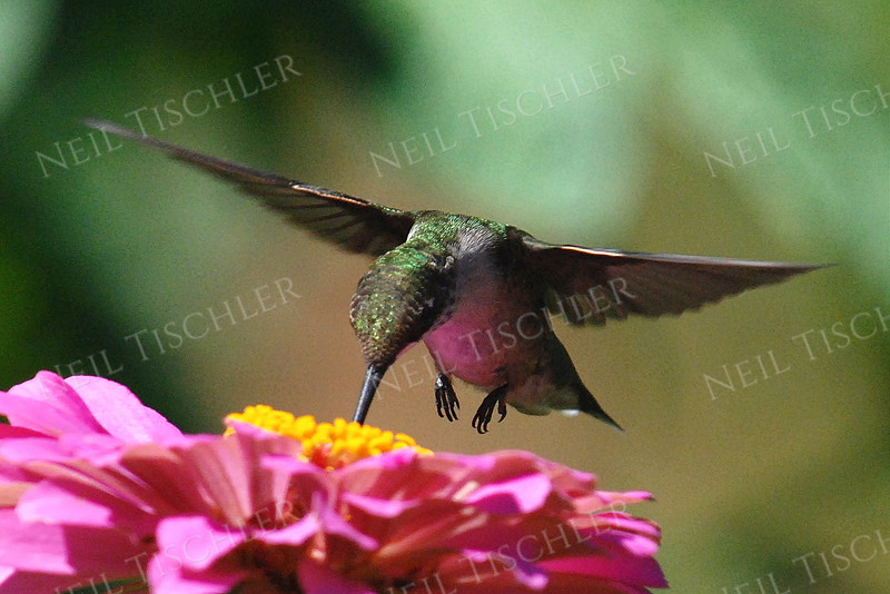 #892  A ruby throated hummingbird sips from a pink zinnia